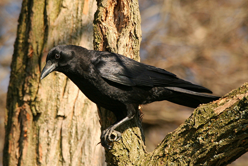 American Crow - Pennsylvania