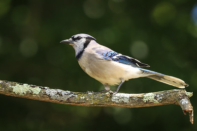 Blue Jay - Pennsylvania