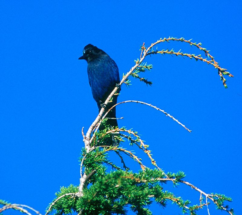 Steller's Jay - Washington