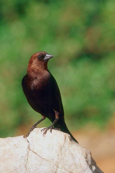 Brown-headed Cowbird, male - Pennsylvania