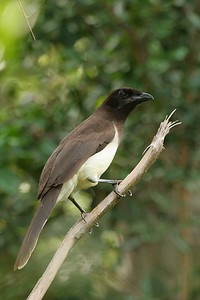 Brown Jay - Mexico