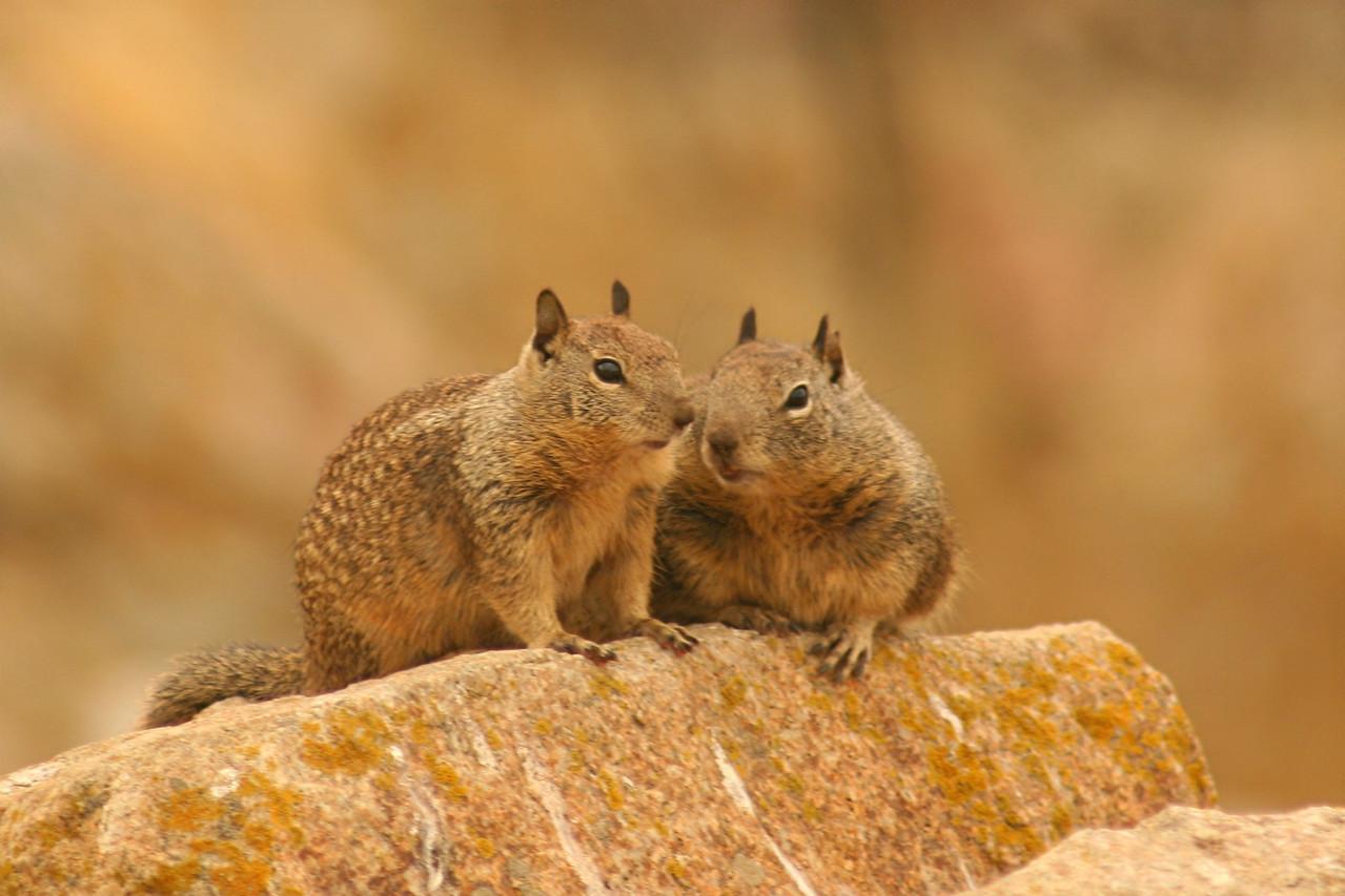 Beechy Ground Squirrels - California