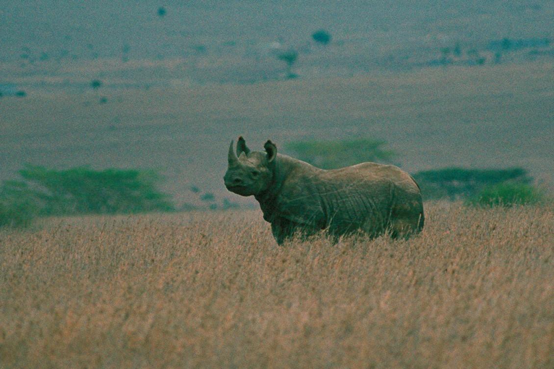 Black Rhinoceros - Kenya