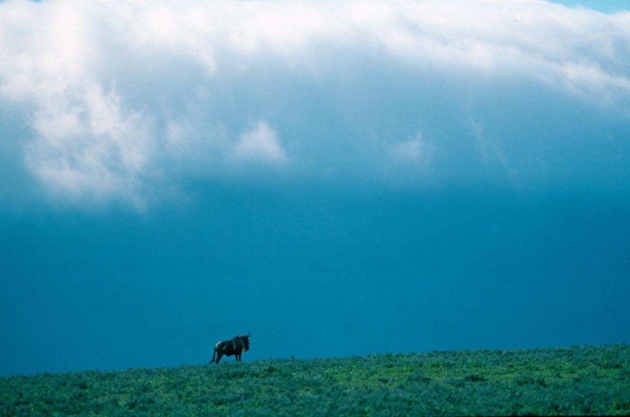 Wildebeest - Tanzania