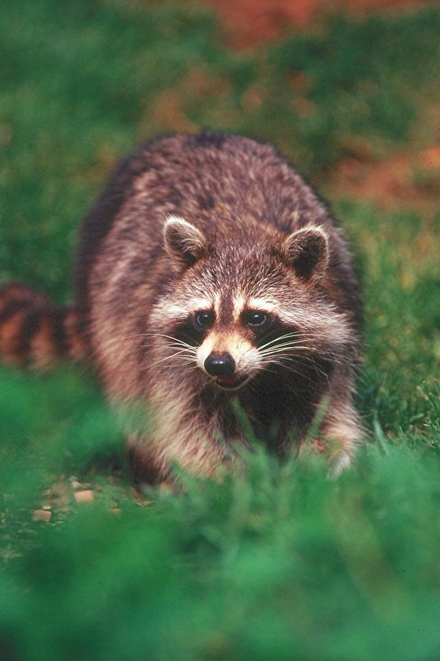 Raccoon - Pennsylvania