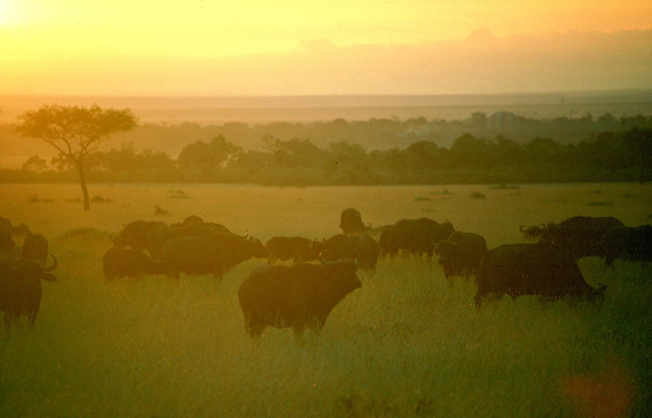 Cape Buffalo - Tanzania