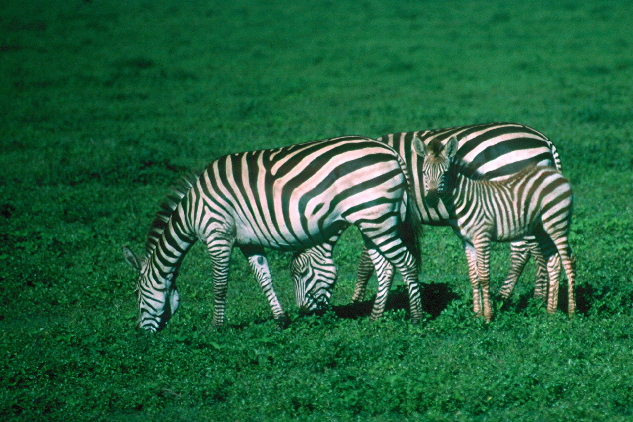 Burchell's Zebra - Tanzania