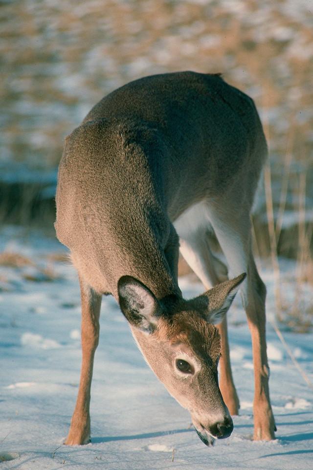 White-tailed Deer - Pennsylvania