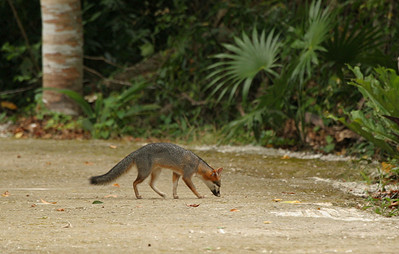 Gray Fox - Mexico