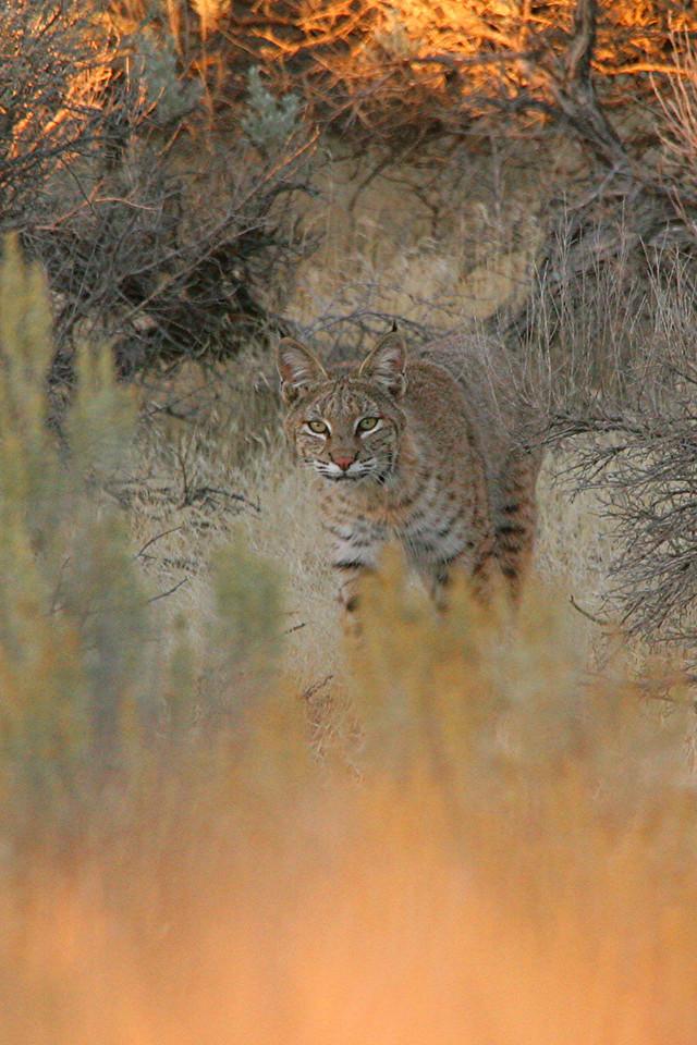 Bobcat - Utah
