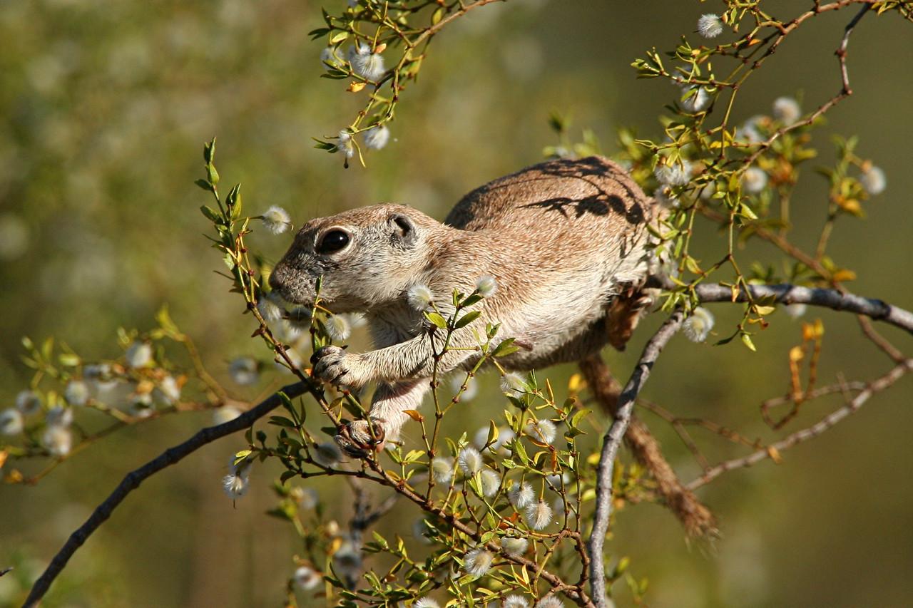 Round-tailed Ground Squirrel - Arizona