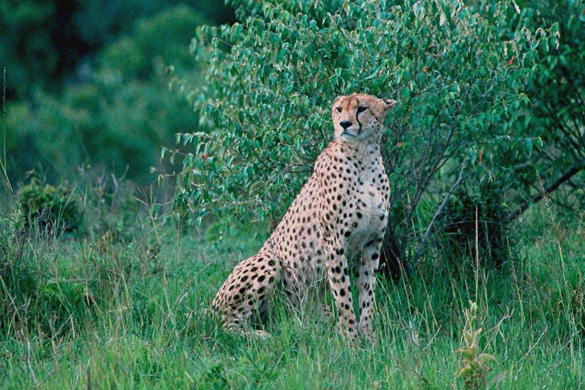 Cheetah - Kenya
