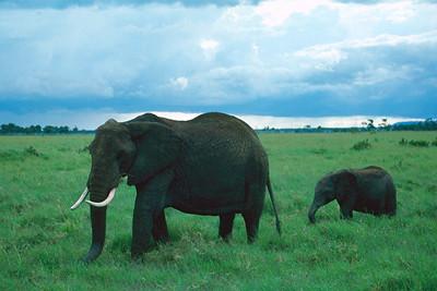 African Elephants - Kenya