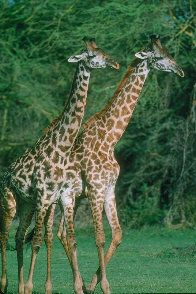 Masaai Giraffe - Tanzania