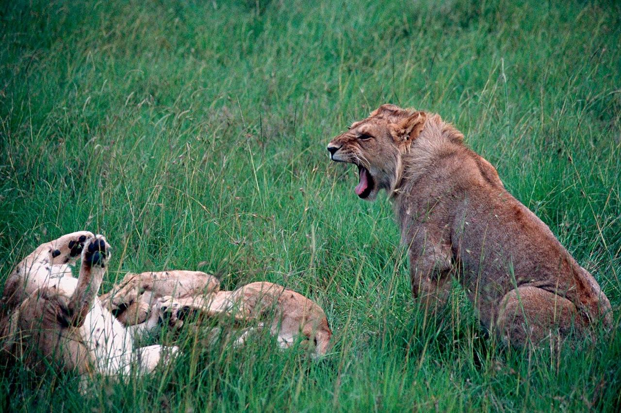 African Lion - Kenya