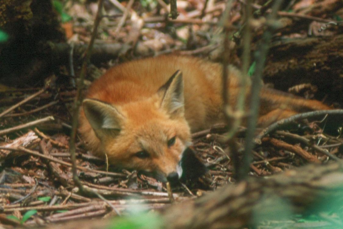 Red Fox - Pennsylvania
