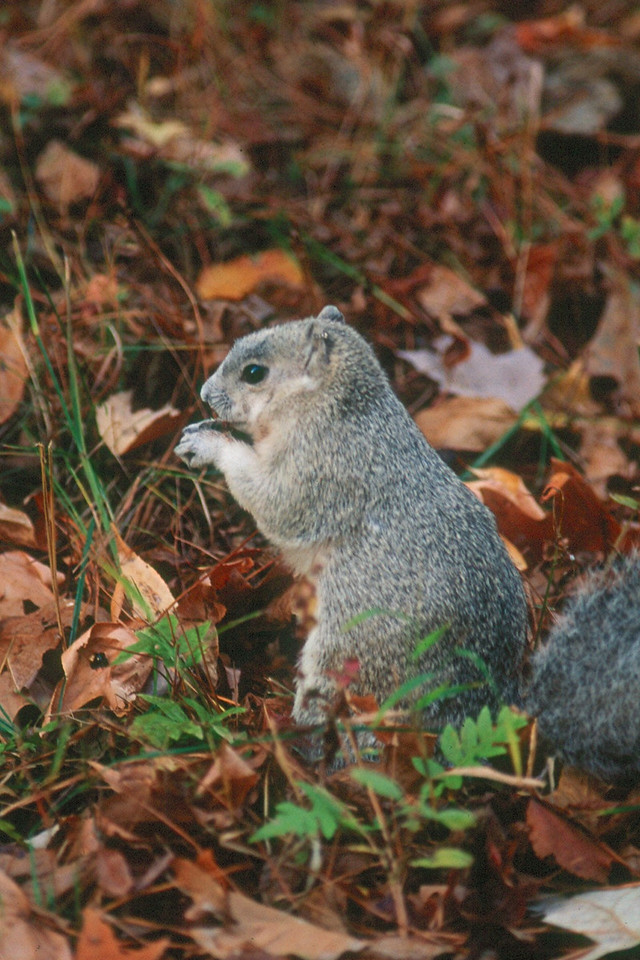 Delmarva Fox Squirrel - Maryland