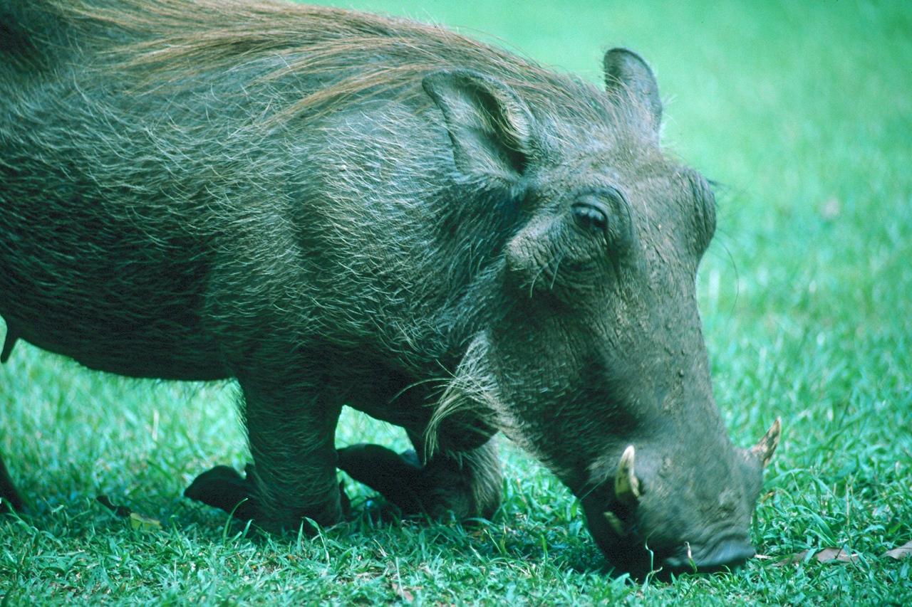 Warthog - Kenya