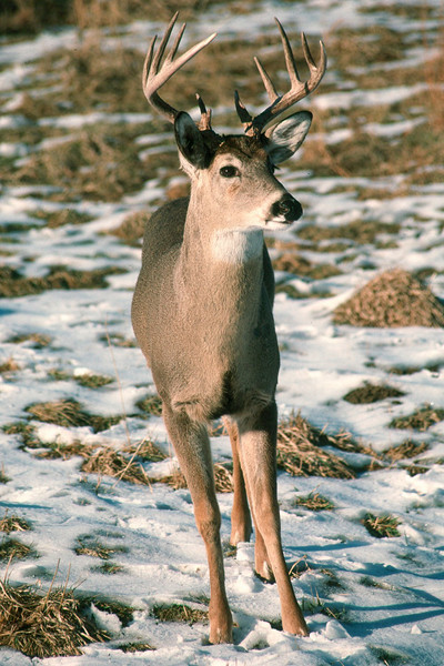 White-tailed Deer - Pennsylvania