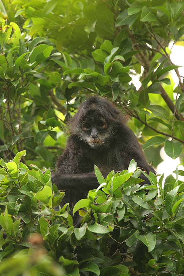 Spider Monkey - Mexico