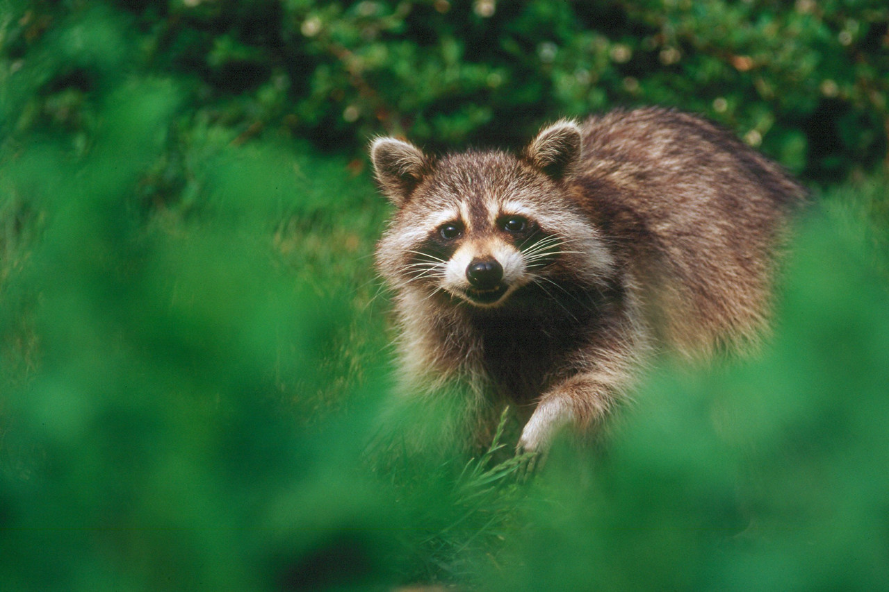 Raccoon - Pennsylvania