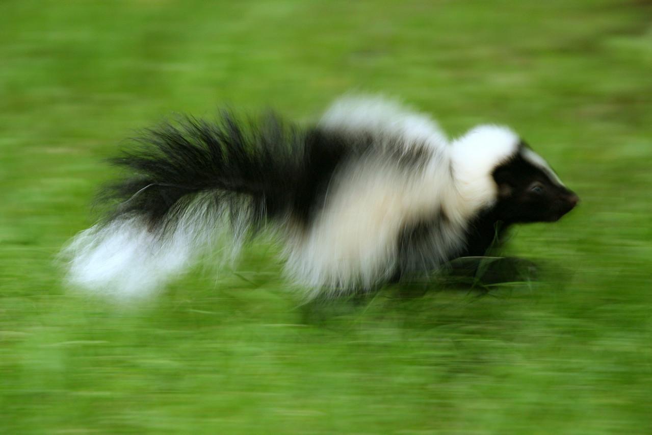 Striped Skunk - Pennsylvania