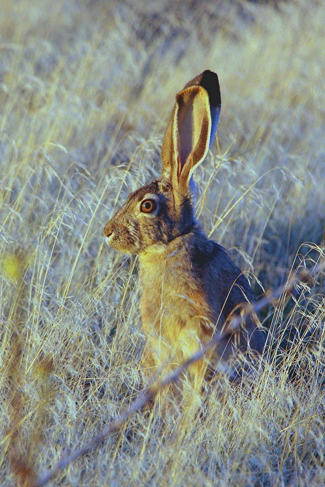 Black-tailed Jackrabbit - Utah