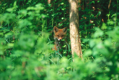 Red Fox - Pennsylvania