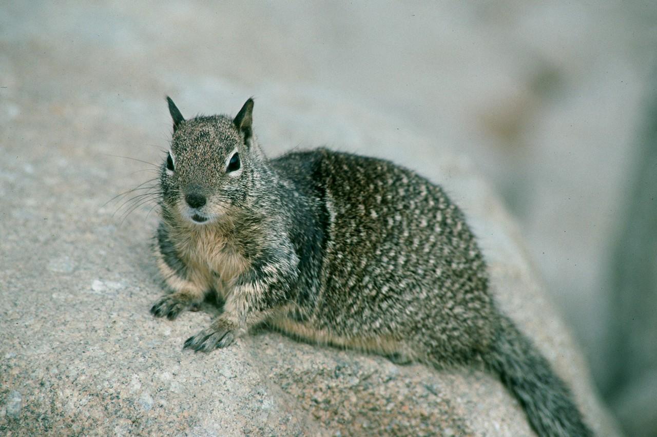 Beechy Ground Squirrel - California