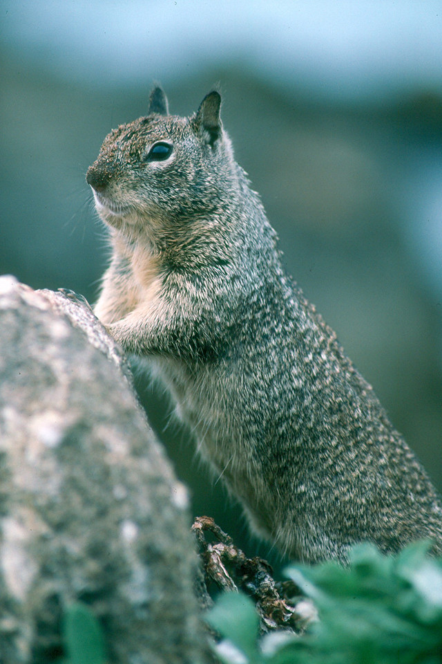 Beechy Ground Squirrel - California