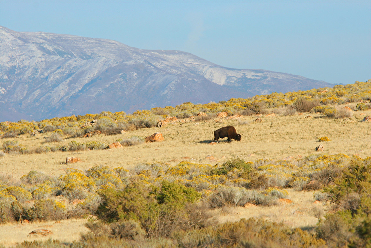 American Bison - Utah