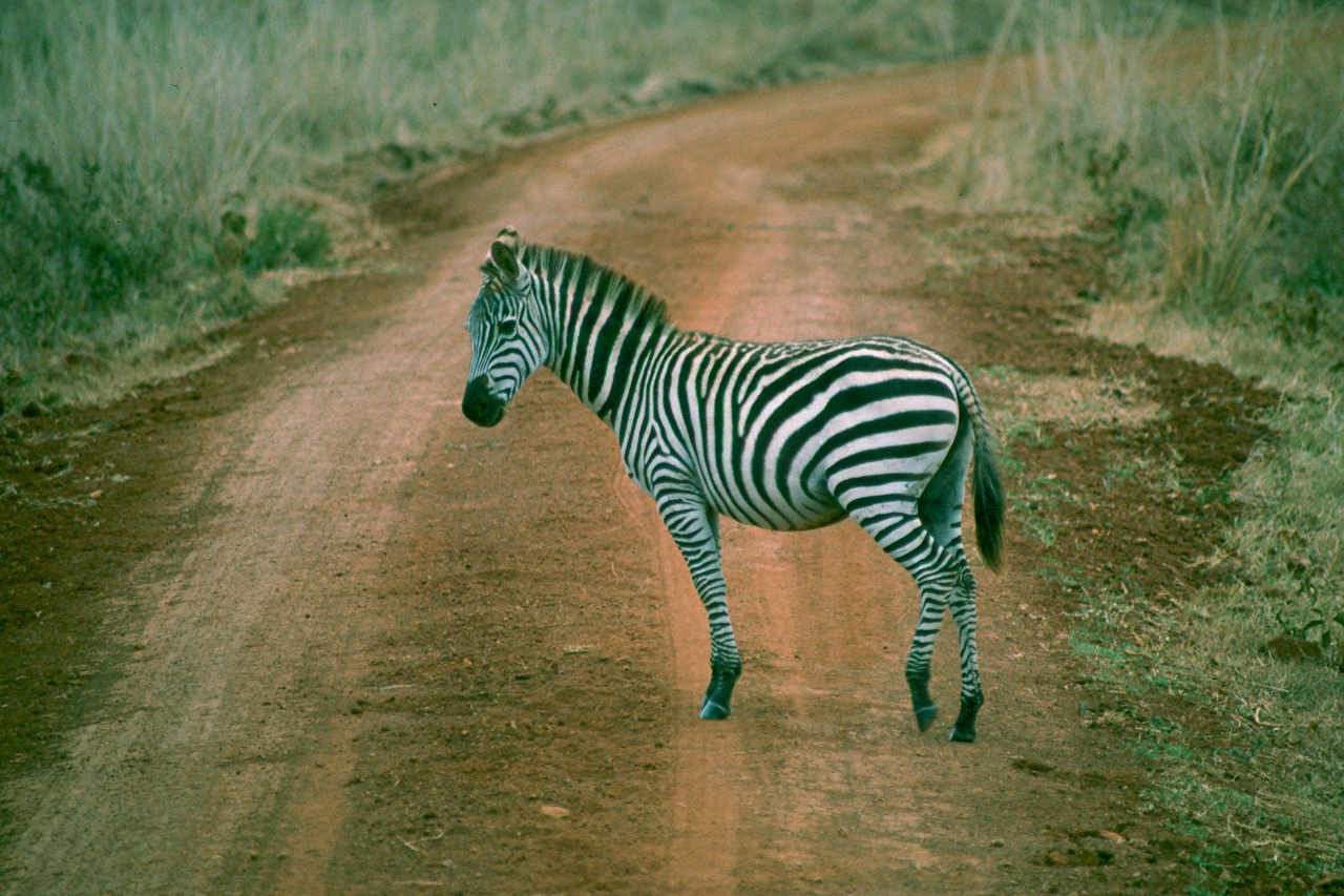 Burchell's Zebra - Kenya