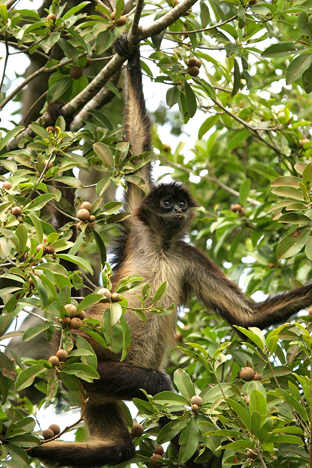 Spider Monkey - Mexico