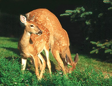 White-tailed Deer Fawns - Pennsylvania