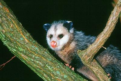 Virginia Opossum - Pennsylvania