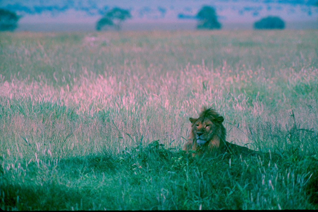 African Lion - Tanzania