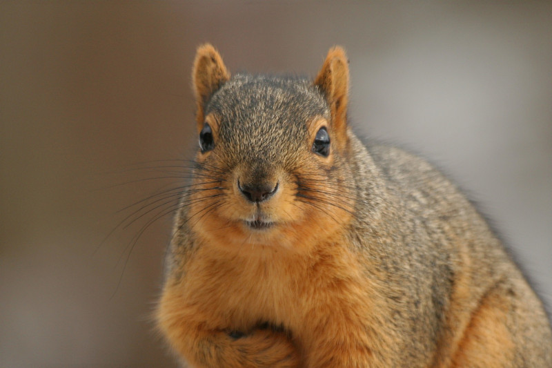 Fox Squirrel - Pennsylvania