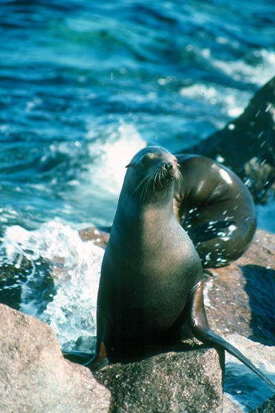 California Sea Lion - California