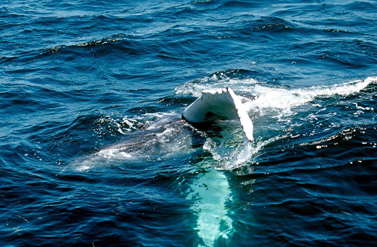 Humpback Whale - Massachusetts
