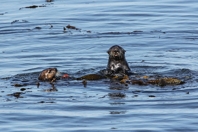Southern Sea Otters - California