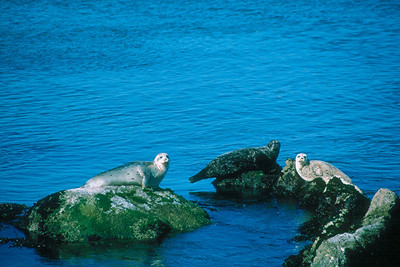 Harbor Seals - California
