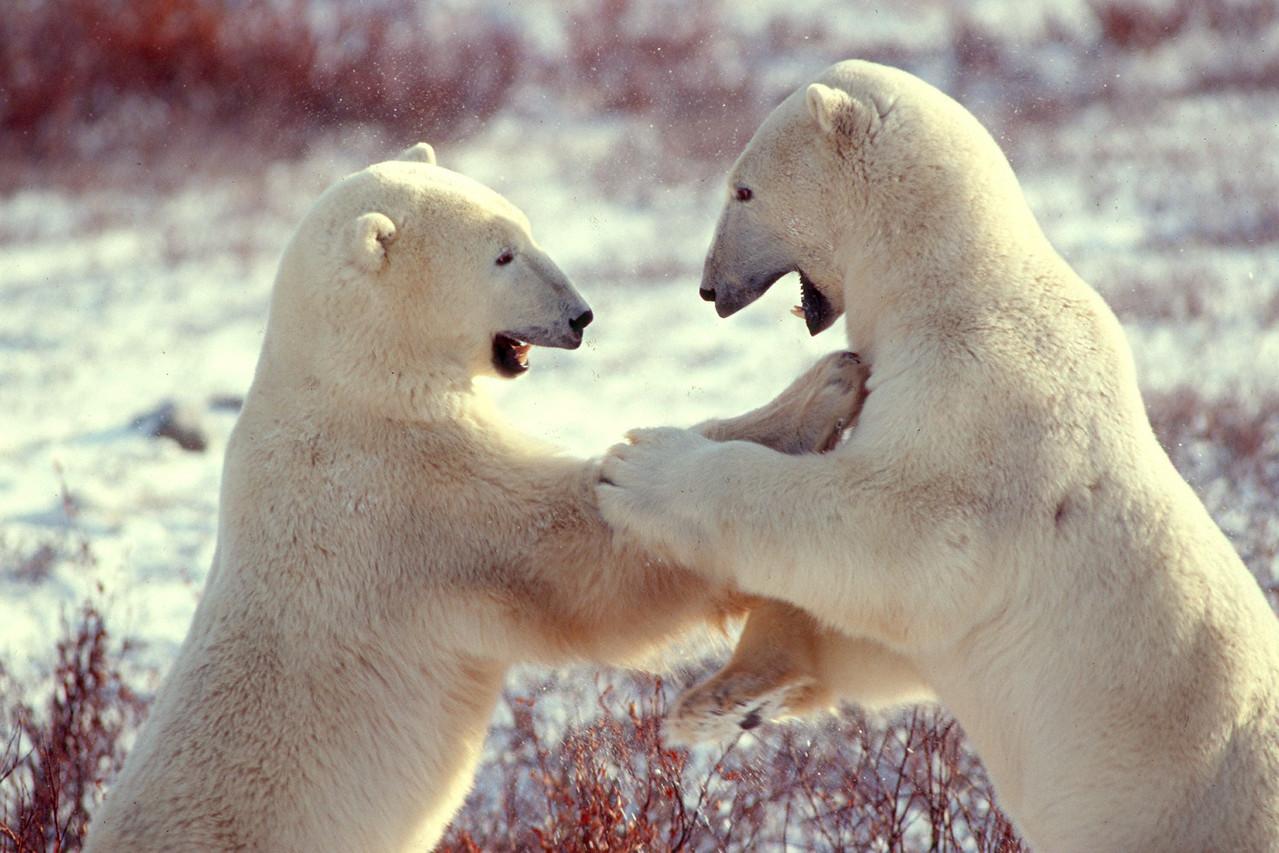 Polar Bears - Canada