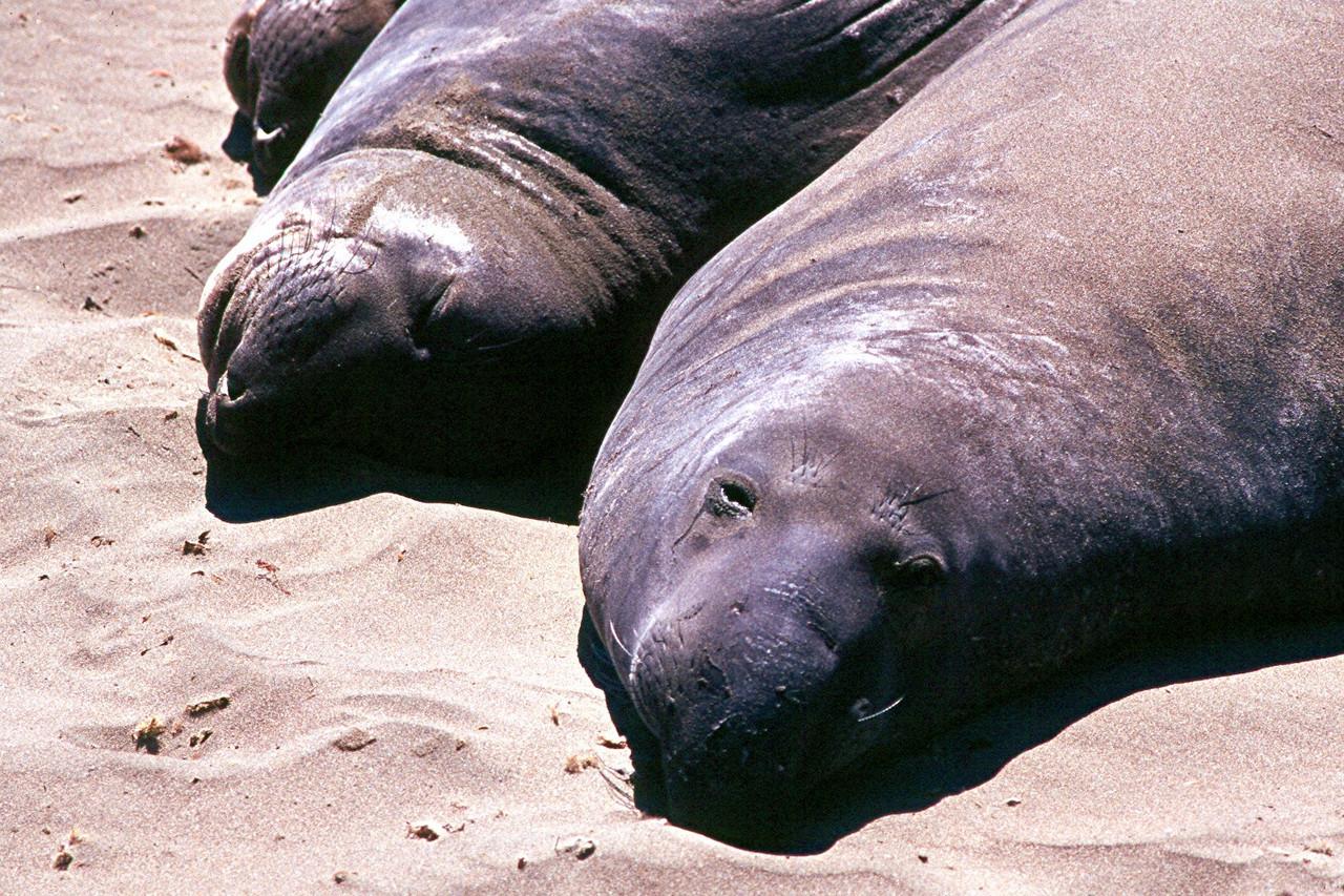 Northern Elephant Seal - California