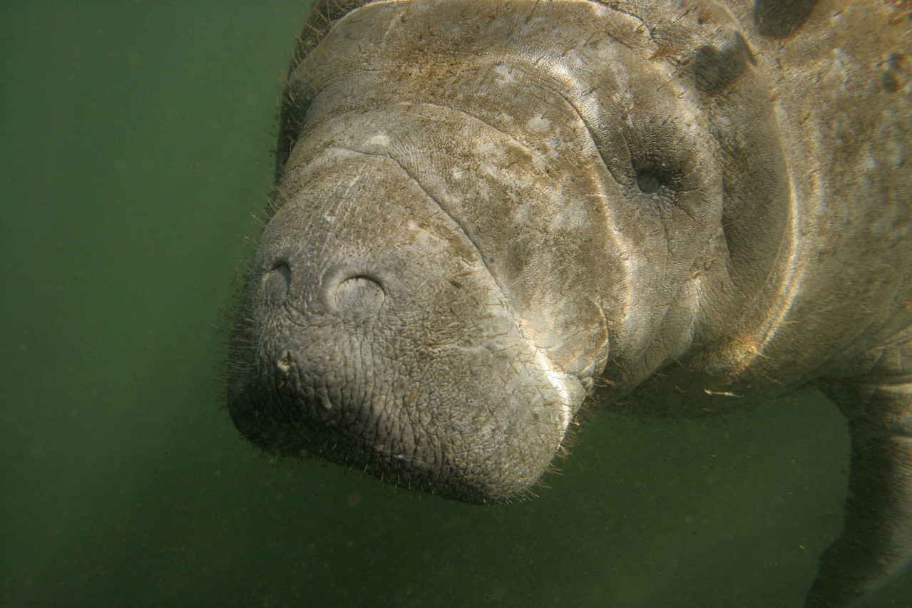 West Indian Manatee - Florida