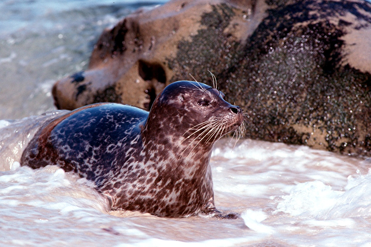 Harbor Seal - California