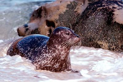 Harbor Seal - California