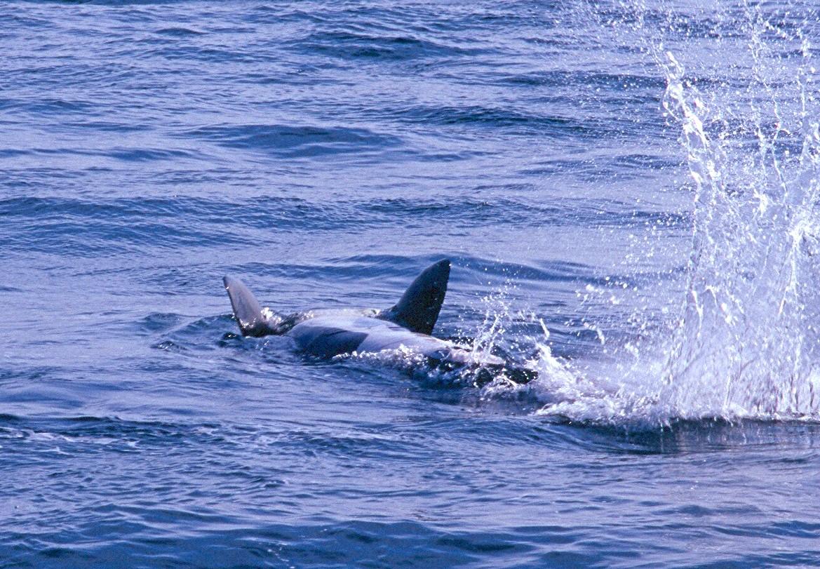 Orca - Washington