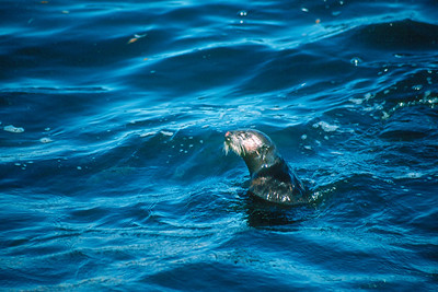 Southern Sea Otter - California