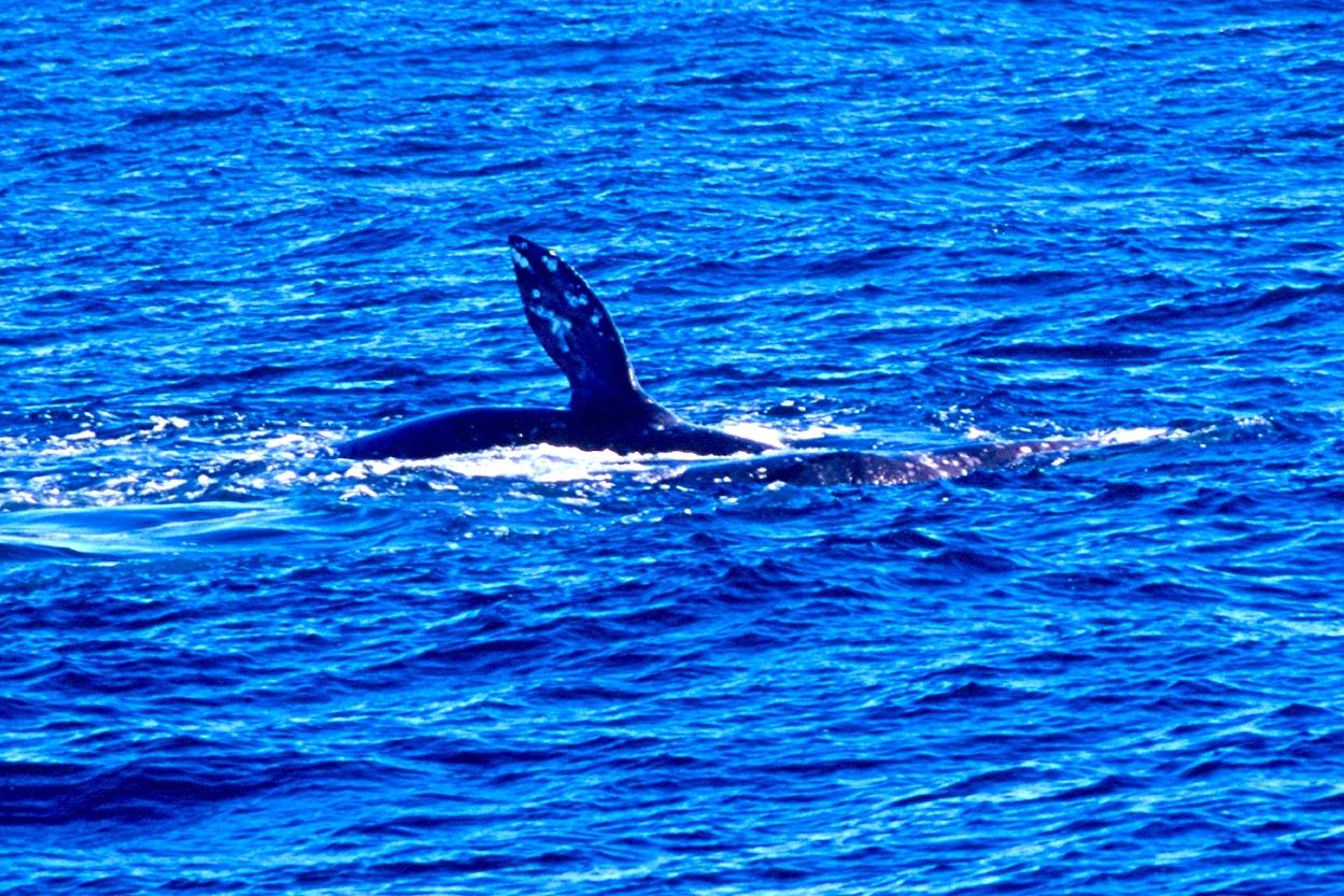 Gray Whale - California