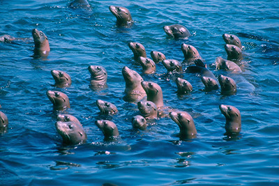California sea Lions - California